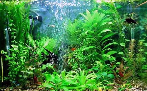 Процесс аэрации аквариума компрессором